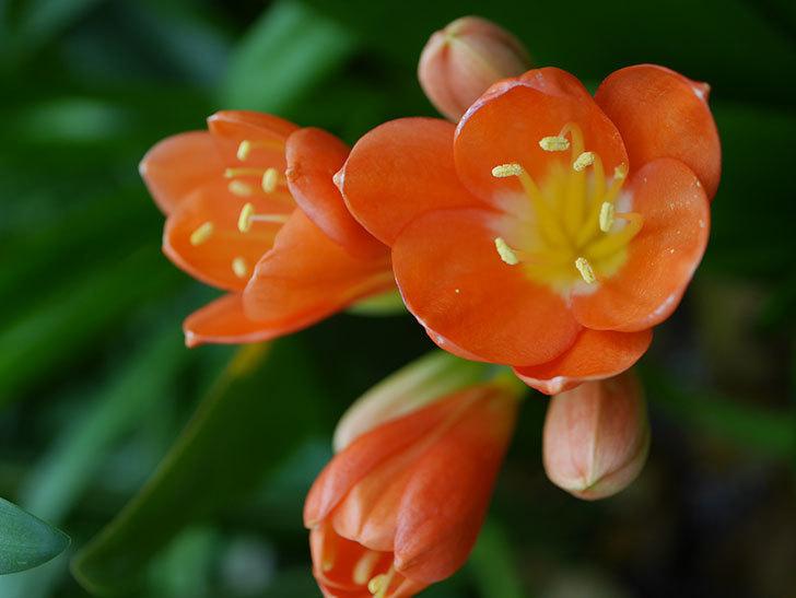 クンシラン(君子蘭)の花が咲いた。2021年-005.jpg