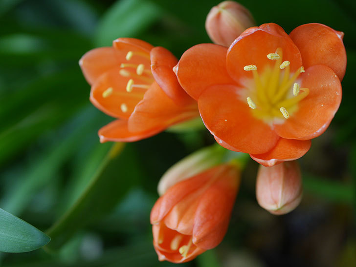 クンシラン(君子蘭)の花が咲いた。2021年-006.jpg