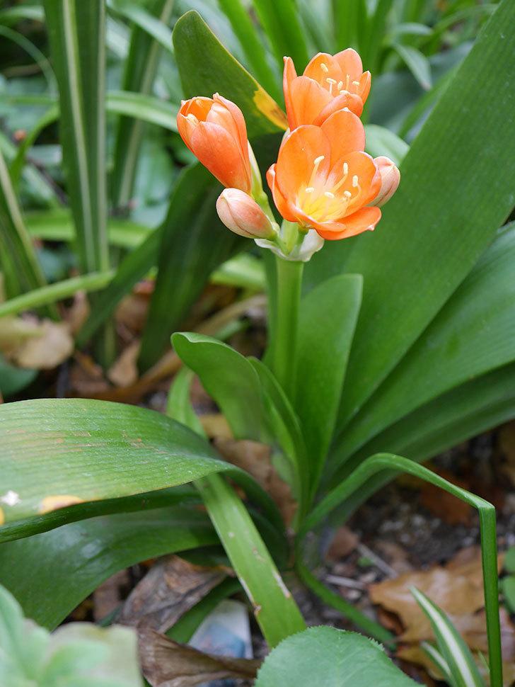 クンシラン(君子蘭)の花が咲いた。2021年-008.jpg
