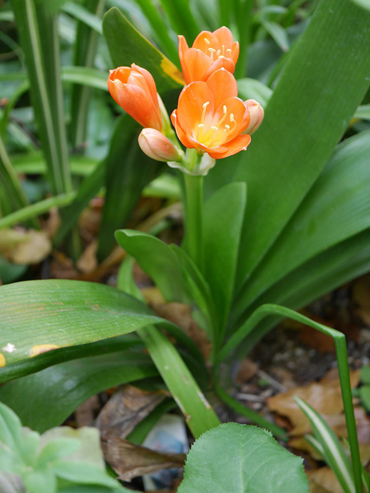 クンシラン(君子蘭)の花が咲いた。2021年-009.jpg