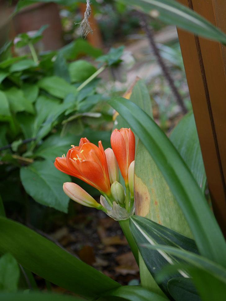 クンシラン(君子蘭)の花が咲いた。2021年-010.jpg