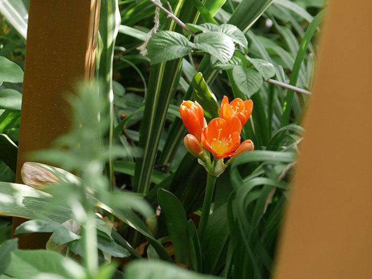 クンシラン(君子蘭)の花が咲いた。2021年-012.jpg
