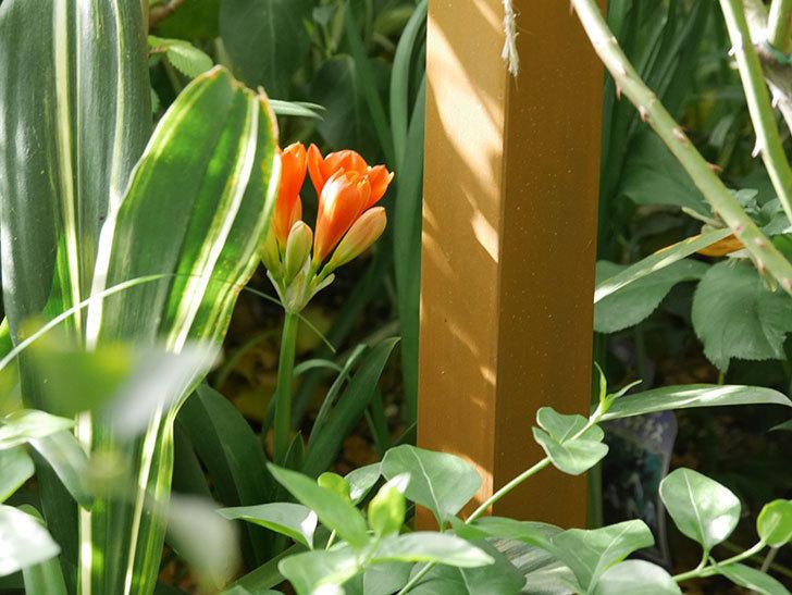 クンシラン(君子蘭)の花が咲いた。2021年-018.jpg