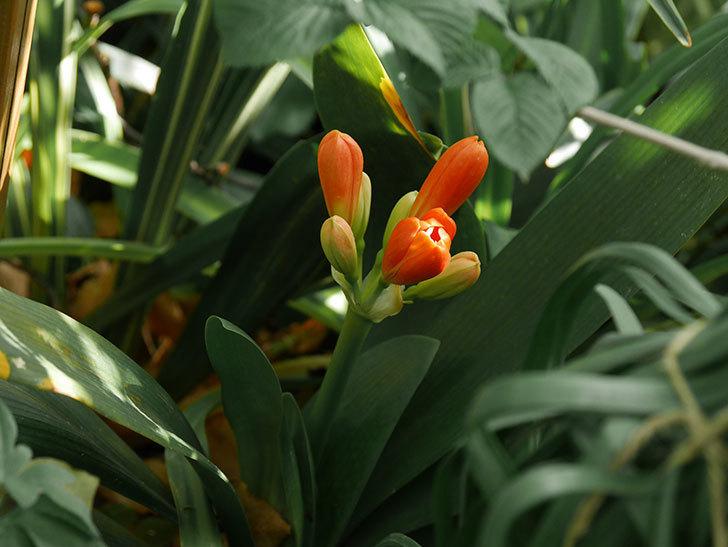 クンシラン(君子蘭)の花が少し咲いた。2021年-001.jpg