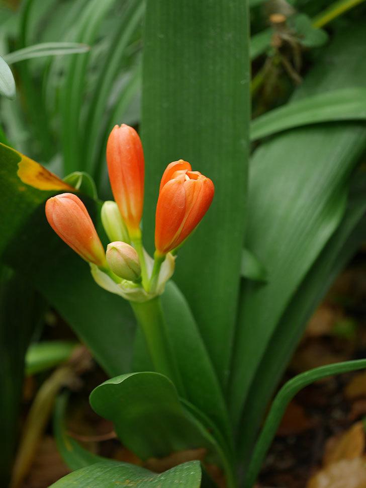 クンシラン(君子蘭)の花が少し咲いた。2021年-009.jpg