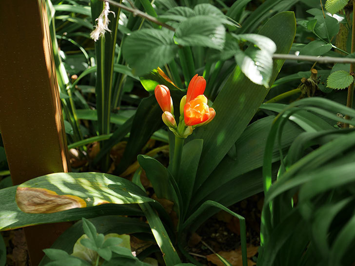 クンシラン(君子蘭)の花が少し咲いた。2021年-015.jpg