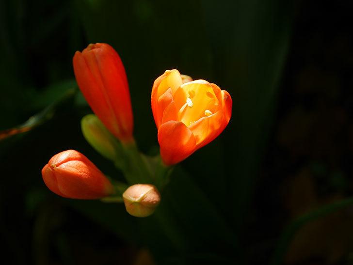 クンシラン(君子蘭)の花が少し咲いた。2021年-020.jpg