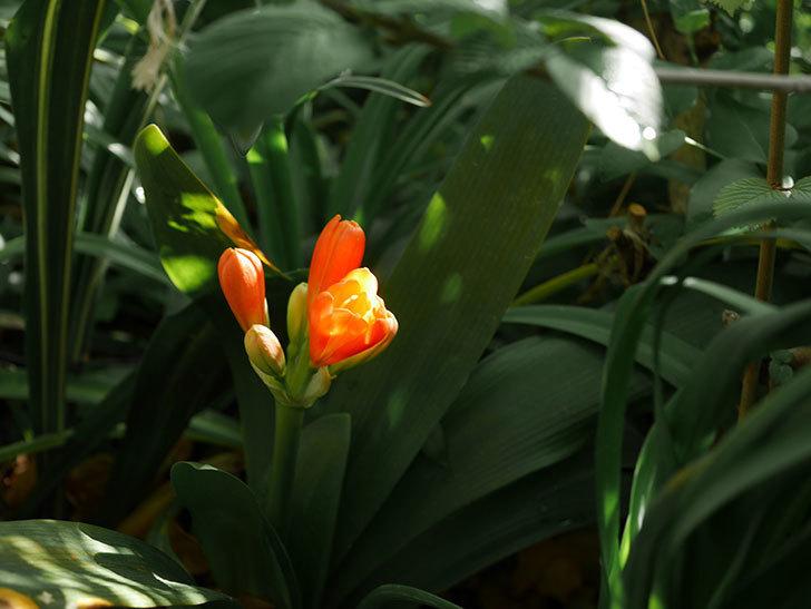 クンシラン(君子蘭)の花が少し咲いた。2021年-021.jpg