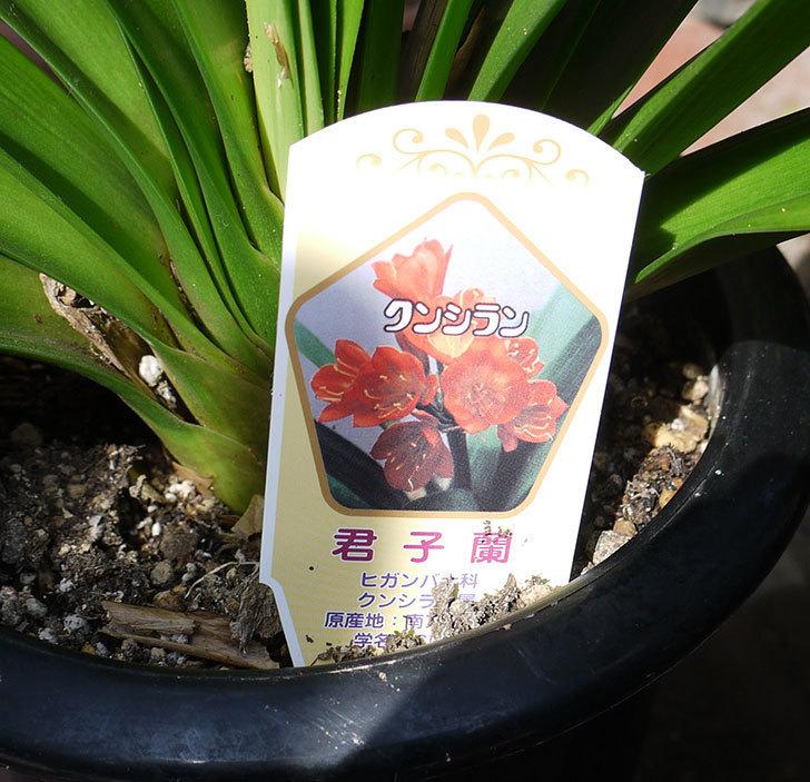クンシラン(君子蘭)の鉢をもらった。2017年-3.jpg