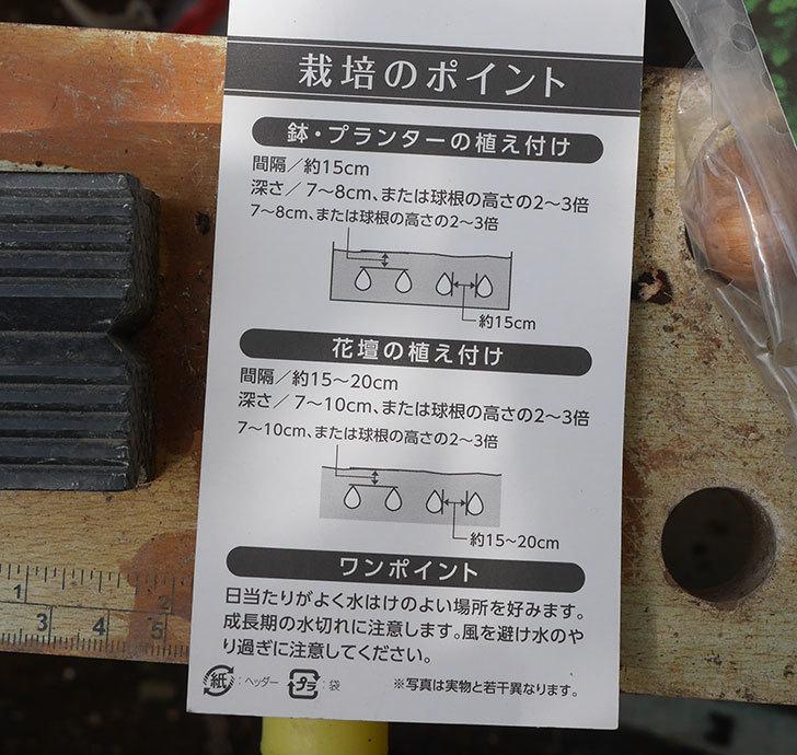 グラジオラスの球根6個入りがケイヨーデイツーで159円だったので6袋買って来た。2019年-3.jpg