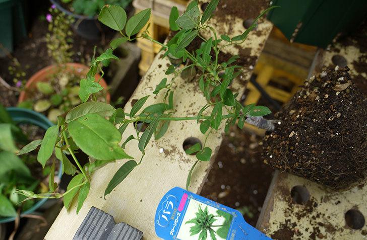 グリーンローズ(木立バラ)の新苗を5号ロングスリット鉢に植えた。2016年-2.jpg