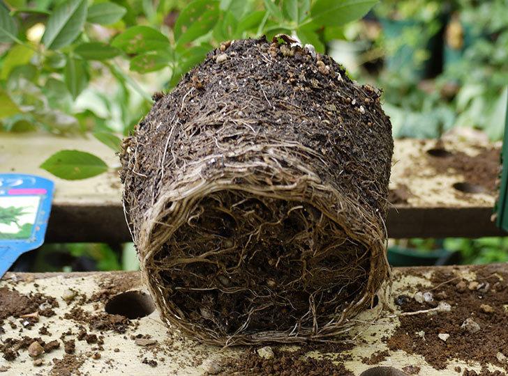 グリーンローズ(木立バラ)の新苗を5号ロングスリット鉢に植えた。2016年-4.jpg