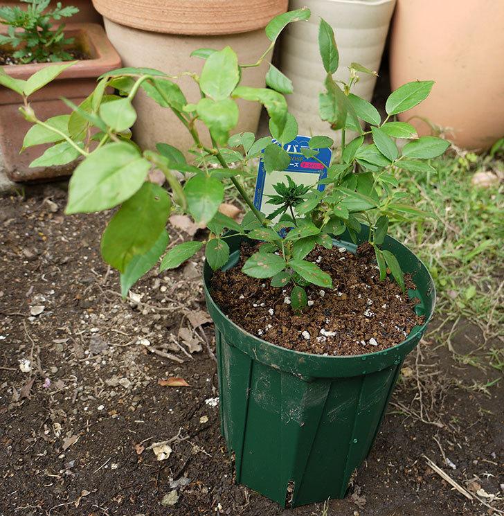 グリーンローズ(木立バラ)の新苗を5号ロングスリット鉢に植えた。2016年-5.jpg