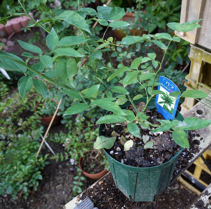 グリーンローズ(木立バラ)の新苗を7号ロングスリット鉢に鉢増しした。2016年-2.jpg