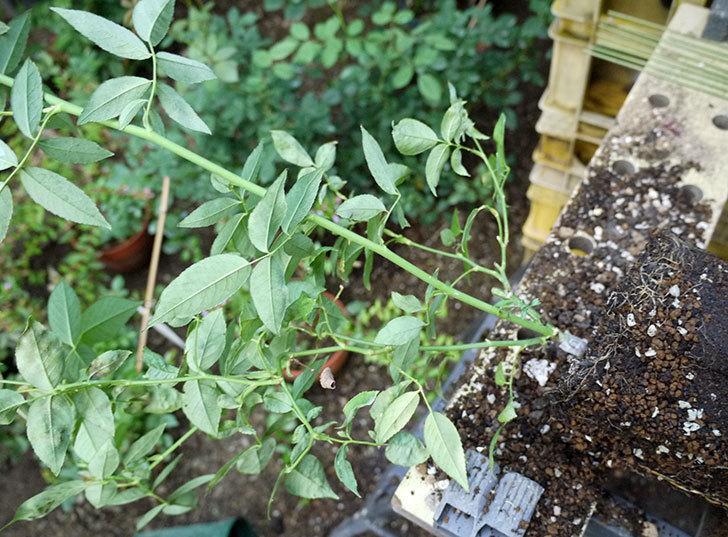 グリーンローズ(木立バラ)の新苗を7号ロングスリット鉢に鉢増しした。2016年-3.jpg