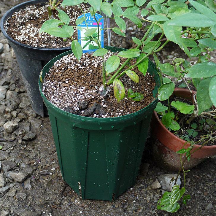 グリーンローズ(木立バラ)の新苗を7号ロングスリット鉢に鉢増しした。2016年-6.jpg