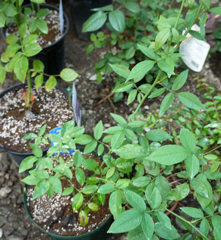グリーンローズ(木立バラ)の新苗を7号ロングスリット鉢に鉢増しした。2016年-7.jpg
