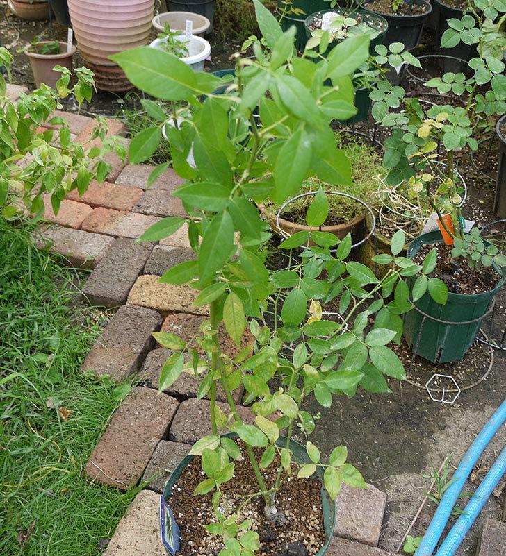グリーンローズ(木立バラ)の新苗を夏剪定した。2016年-1.jpg