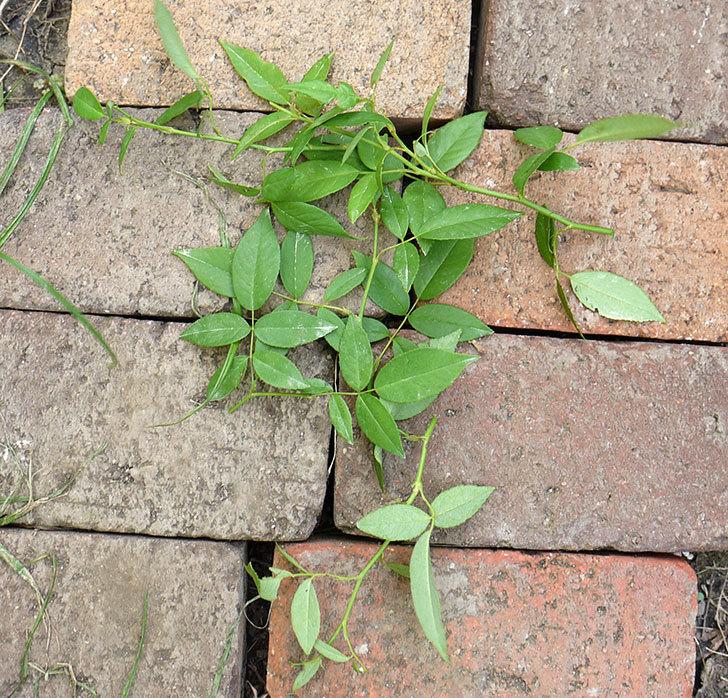 グリーンローズ(木立バラ)の新苗を夏剪定した。2016年-3.jpg
