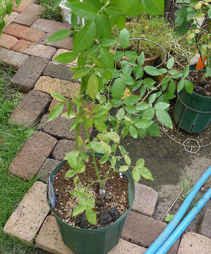 グリーンローズ(木立バラ)の新苗を夏剪定した。2016年-4.jpg