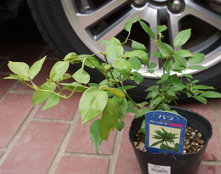 グリーンローズ(木立バラ)の新苗買って来た。2016年-1.jpg