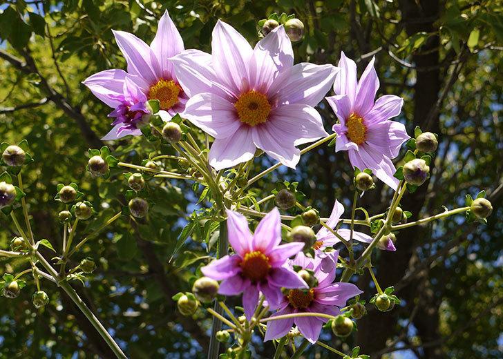 コウテイダリアが更に咲いた。2015年-1.jpg