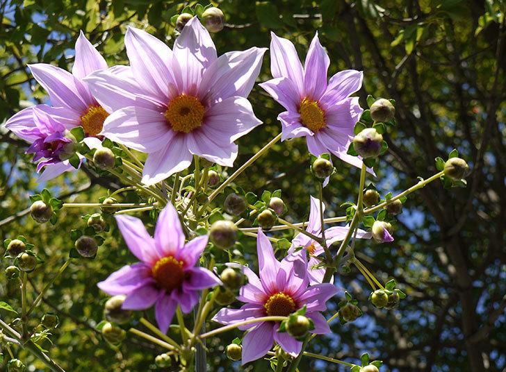 コウテイダリアが更に咲いた。2015年-4.jpg