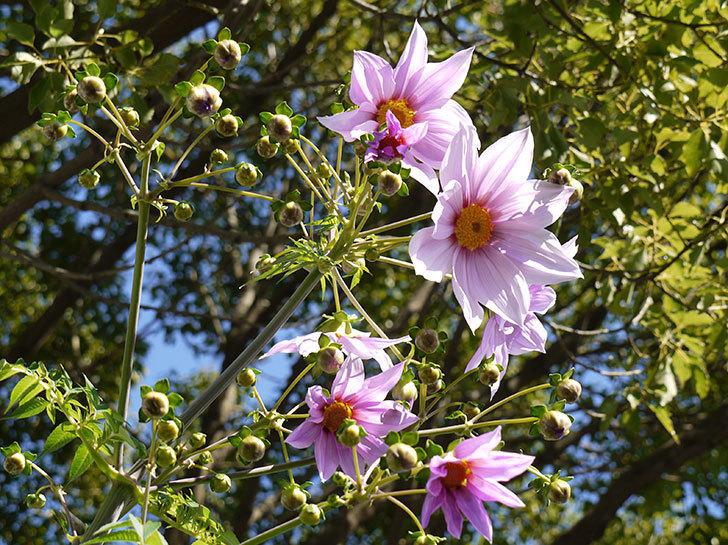 コウテイダリアが更に咲いた。2015年-5.jpg