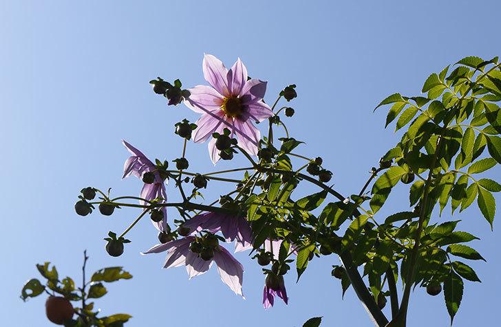 コウテイダリアが更に咲いた。2015年-6.jpg