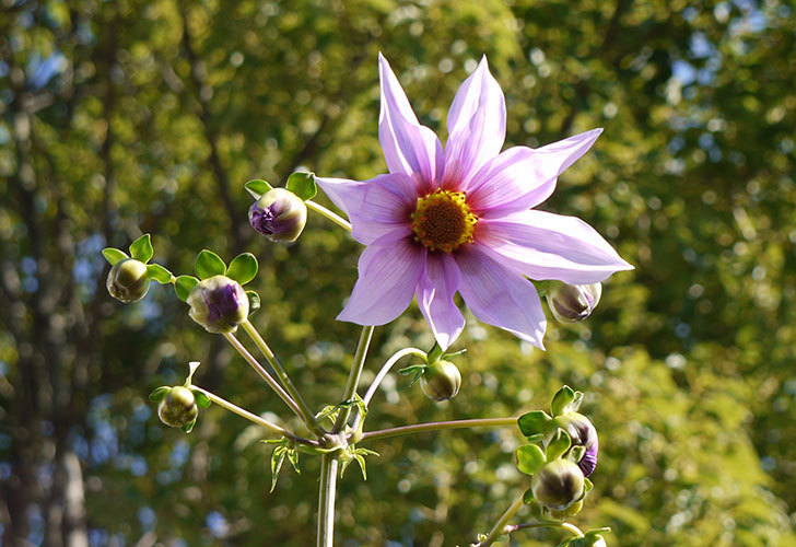 コウテイダリアが更に咲いた。2015年-8.jpg