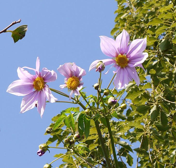 コウテイダリアの花が咲きだした。2016年-1.jpg