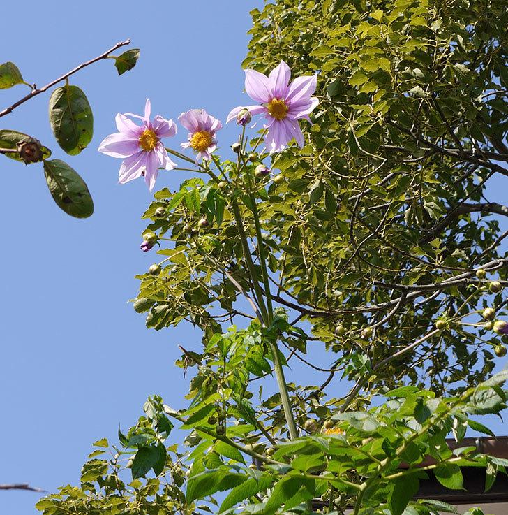 コウテイダリアの花が咲きだした。2016年-3.jpg