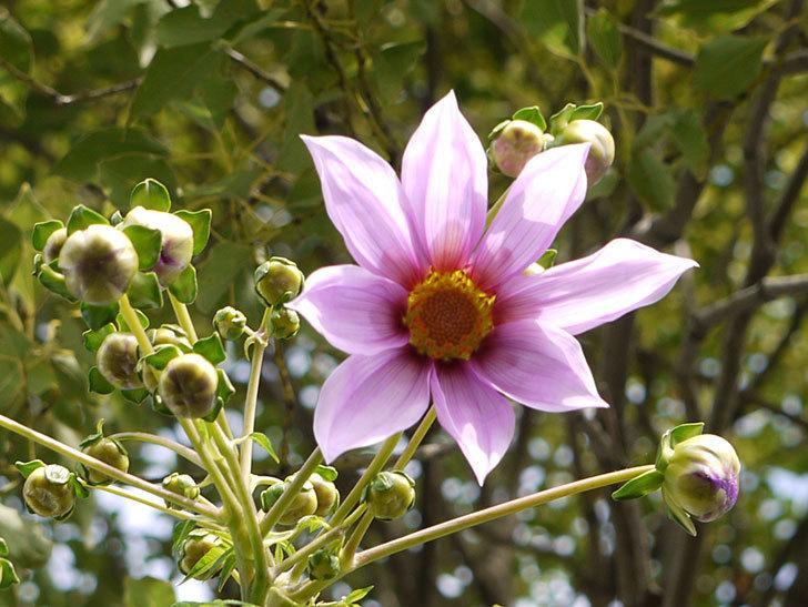 コウテイダリアの花が咲き出した。2015年-2.jpg