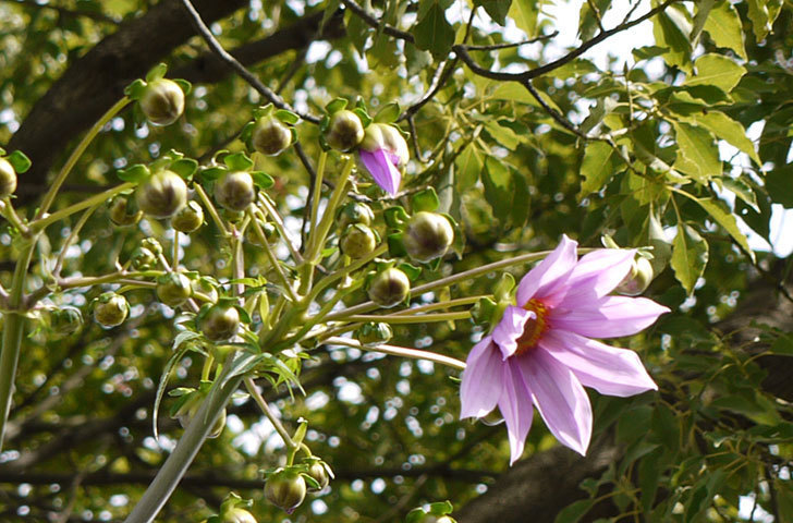 コウテイダリアの花が咲き出した。2015年-5.jpg
