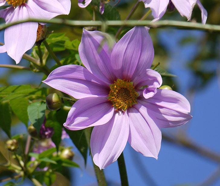 コウテイダリアの花が増えてきた。2016年-10.jpg
