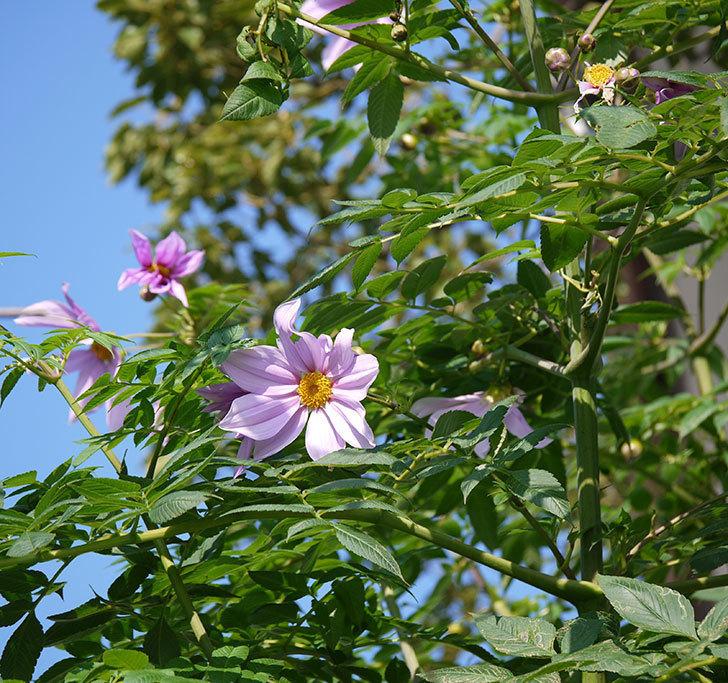 コウテイダリアの花が増えてきた。2016年-11.jpg