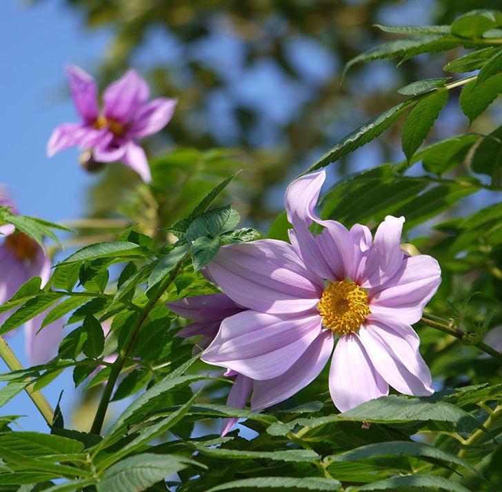コウテイダリアの花が増えてきた。2016年-12.jpg