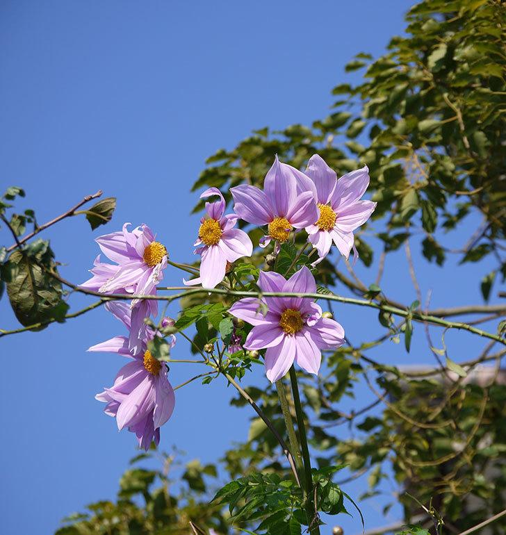 コウテイダリアの花が増えてきた。2016年-13.jpg