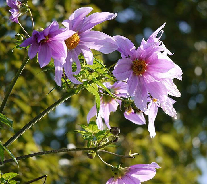 コウテイダリアの花が増えてきた。2016年-5.jpg