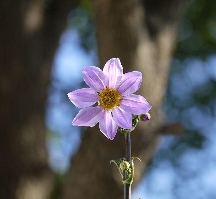 コウテイダリアの花が増えてきた。2016年-7.jpg