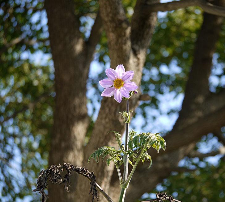 コウテイダリアの花が増えてきた。2016年-8.jpg