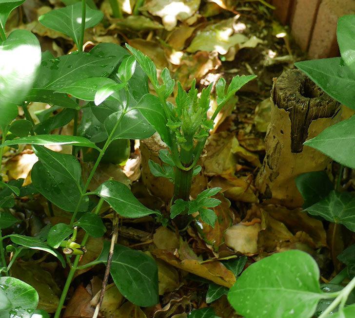コウテイダリアの芽が出てきた。2018年-3.jpg
