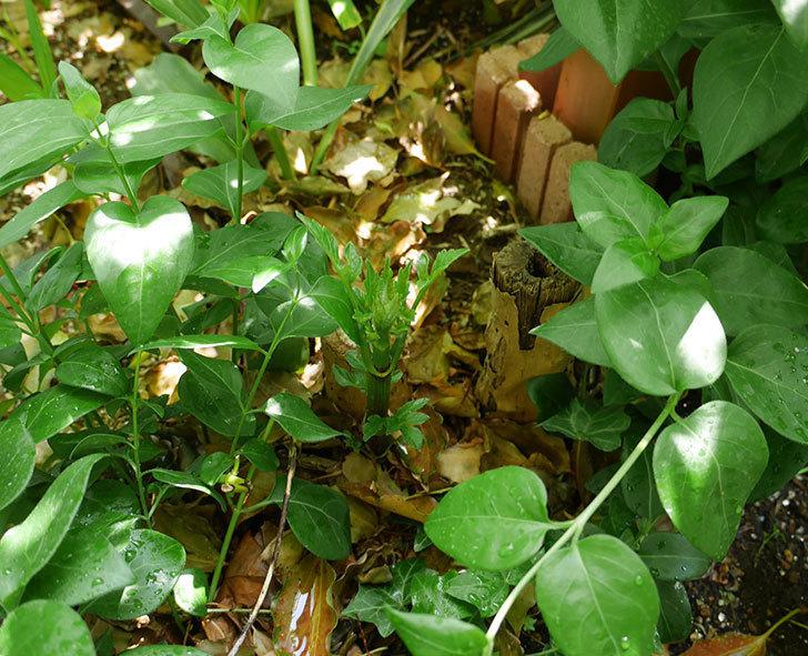 コウテイダリアの芽が出てきた。2018年-4.jpg