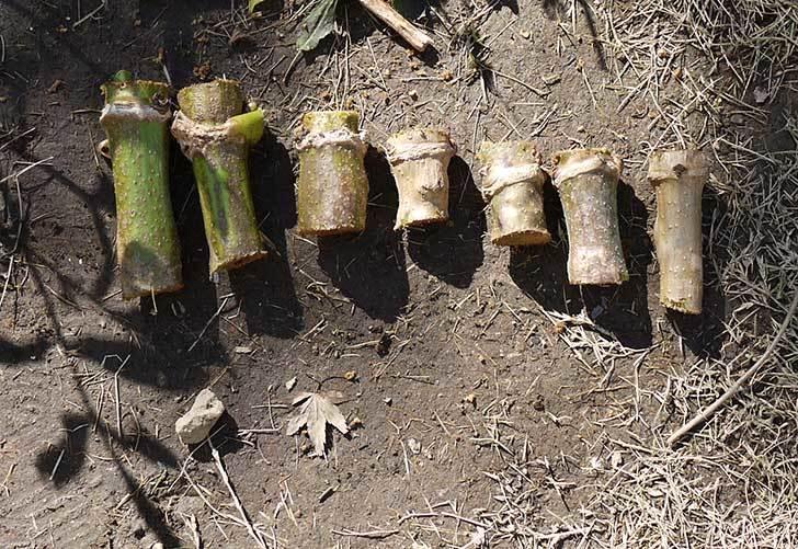 コウテイダリアの茎を輪切りにして翌年の挿し穂(苗)にした1.jpg