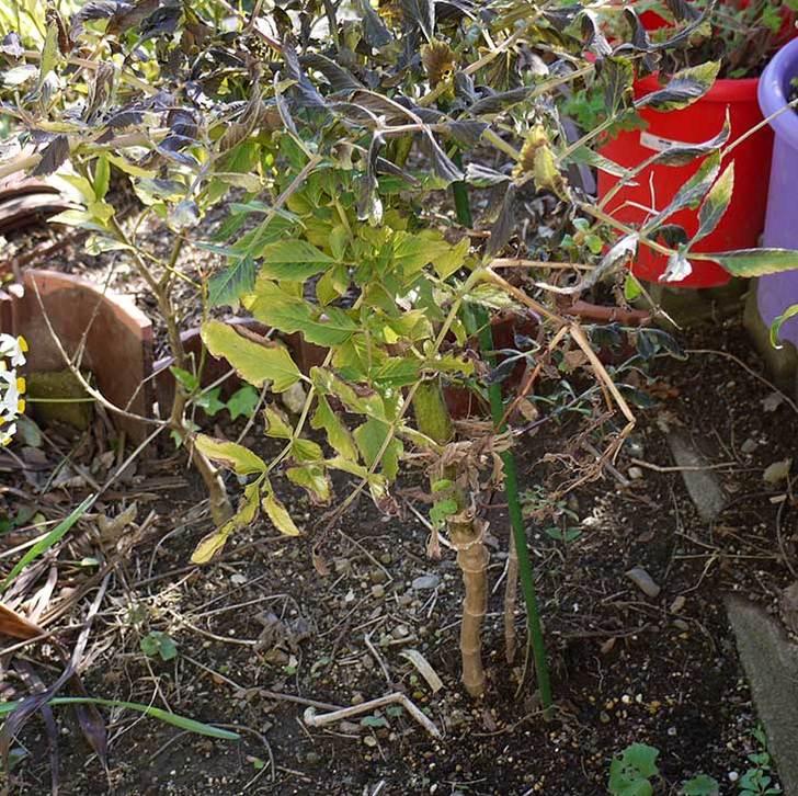 コウテイダリアの茎を輪切りにして翌年の挿し穂(苗)にした2.jpg