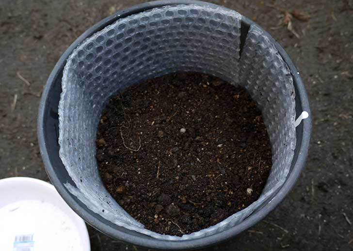 コウテイダリアの茎を輪切りにして翌年の挿し穂(苗)にした7.jpg