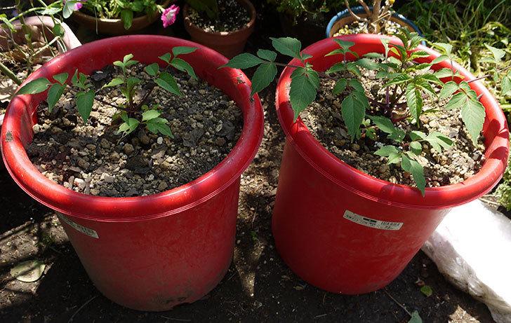 コウテイダリア挿し穂から発芽した苗を10号プラ鉢に植えた1.jpg