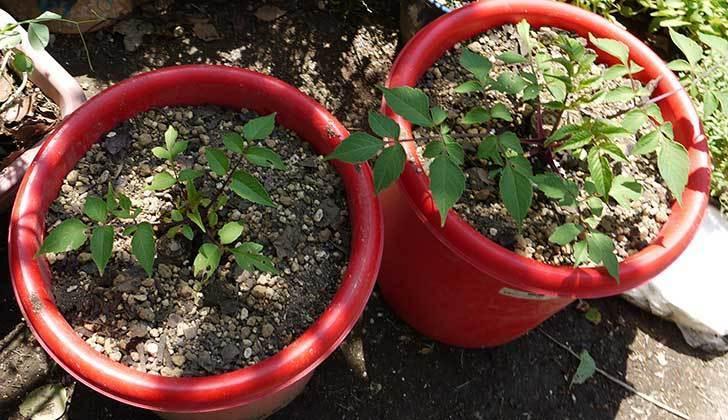 コウテイダリア挿し穂から発芽した苗を10号プラ鉢に植えた4.jpg