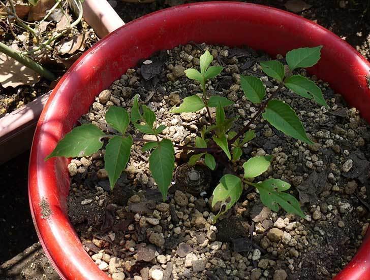 コウテイダリア挿し穂から発芽した苗を10号プラ鉢に植えた5.jpg