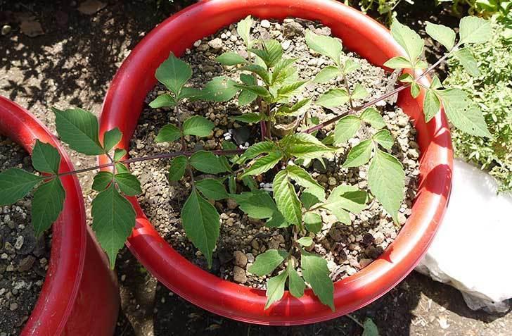 コウテイダリア挿し穂から発芽した苗を10号プラ鉢に植えた6.jpg